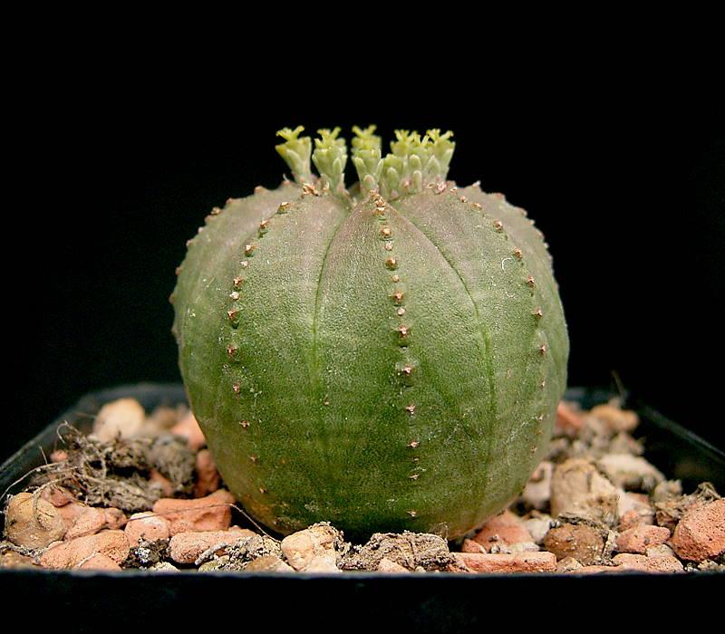 Ejemplar de Euphorbia obesa
