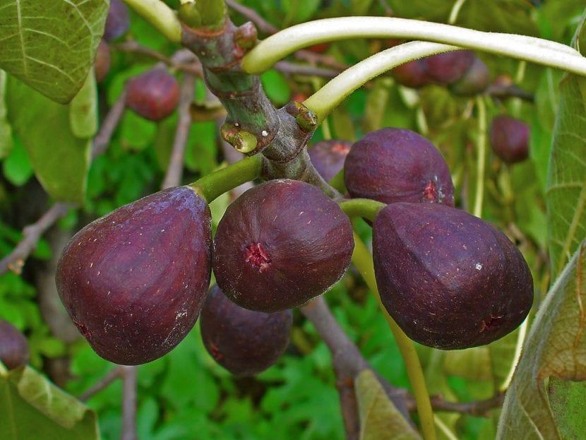 Principales variedades de higueras for Arboles frutales de hoja caduca