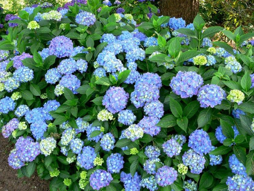 Hortensia, un magnífico arbusto de flor