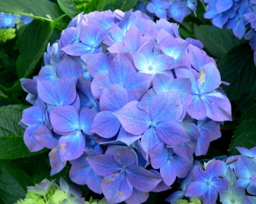 Hydrangea azul