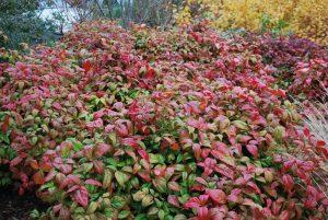 La Nandina domestica es una planta ornamental
