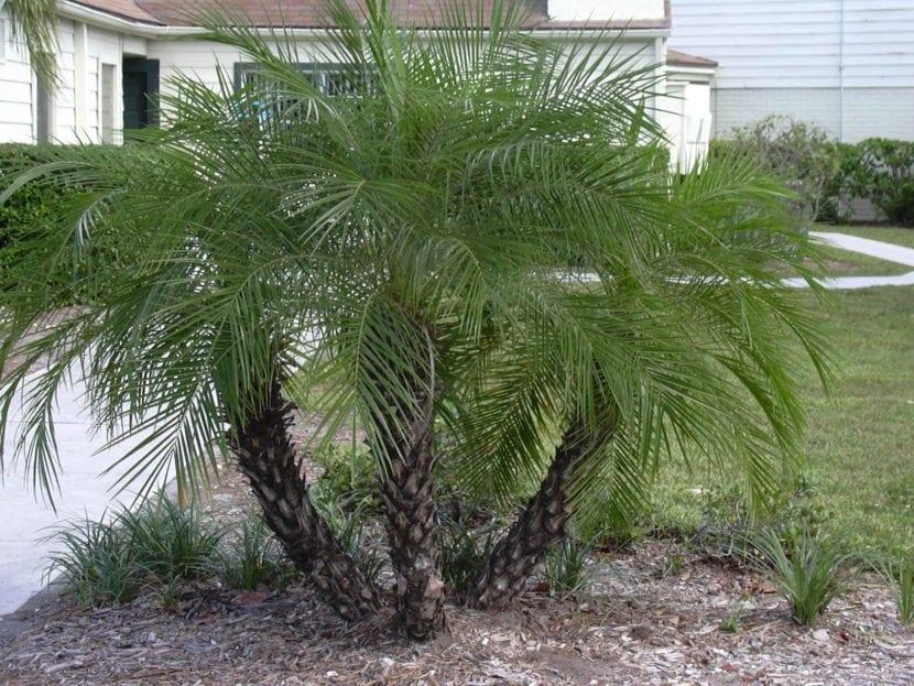 La Phoenix roebelenii se puede plantar en grupos