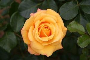 Rosal de color amarillo, una planta que resiste el clima extremo