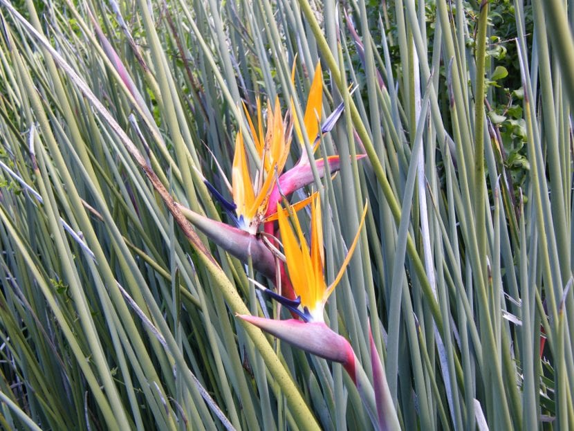 Flor de la Strelitzia juncea