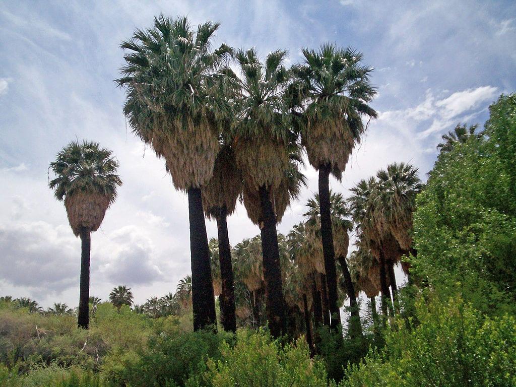 Ejemplares de Washingtonia filifera