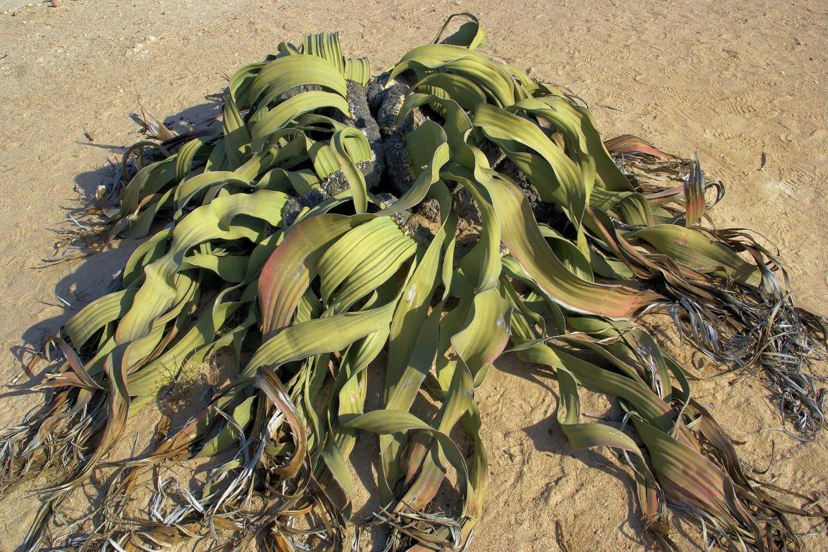 Welwitschia mirabilis, una planta xerófila