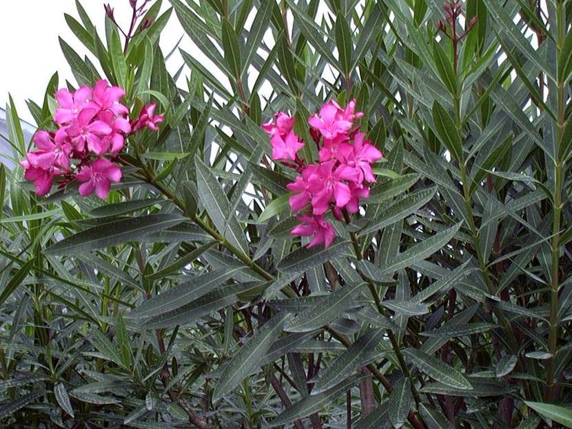 Adelfa, arbusto venenoso