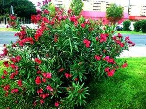 Adelfa, planta venenosa