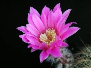 Cactus en flor