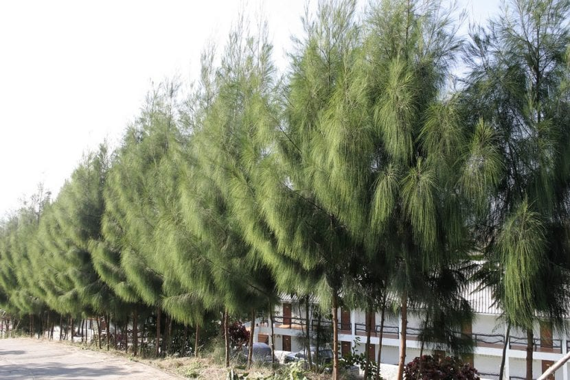 Casuarina oligodon, un árbol que resiste la salinidad