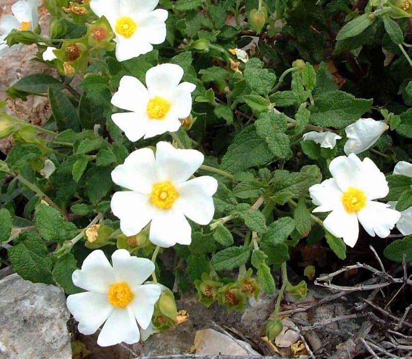 Jara, un arbusto muy resistente