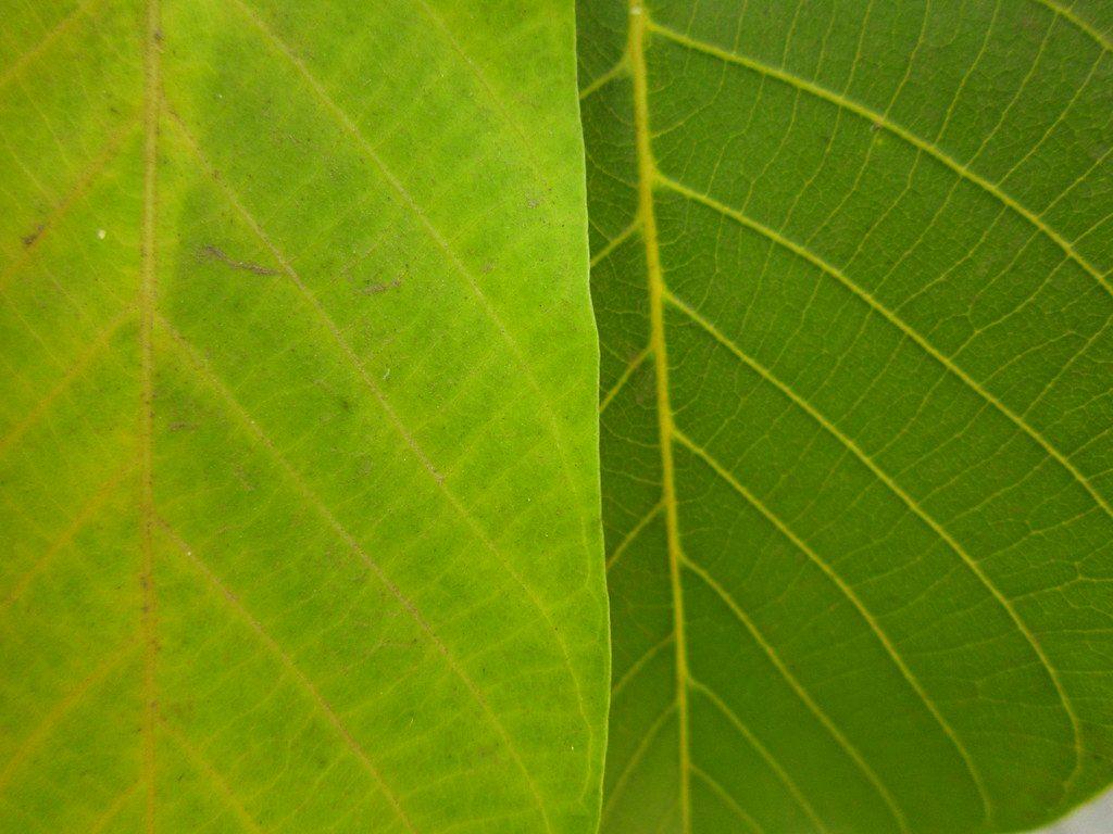 La clorosis férrica es un problema para las plantas