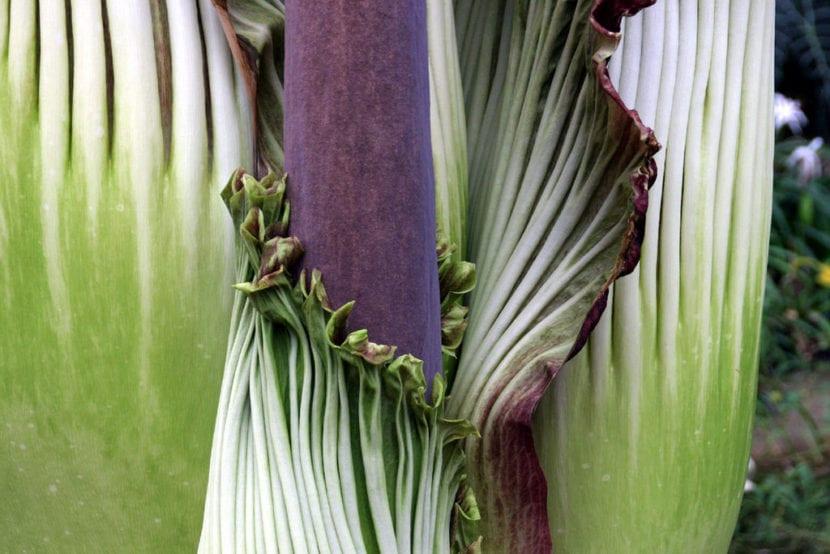 Detalle de la flor de Amorphophallus titanum