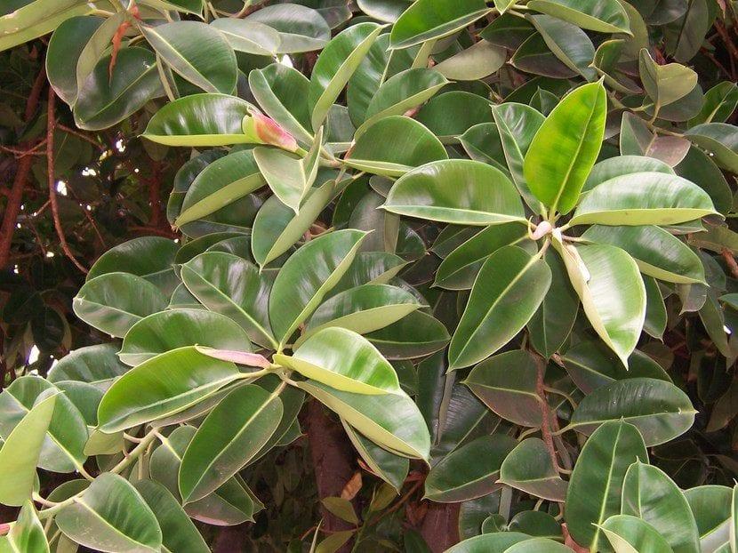 El Ficus es un árbol que produce sustancias bioquímicas que inhibe el crecimiento de las plantas que quieran desarrollarse bajo su sombra.
