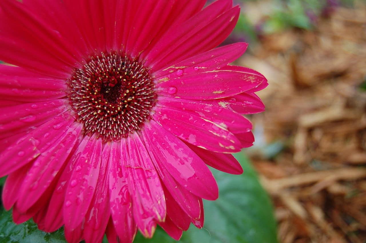La Gerbera es una flor similar a la margarita
