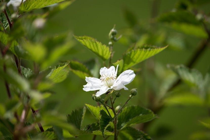 Flor de la zarza