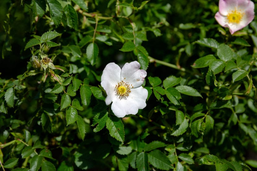 Flor rosa canina
