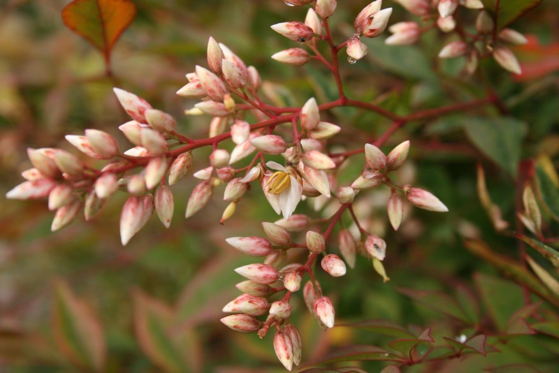 Las flores de nandina son de color crema