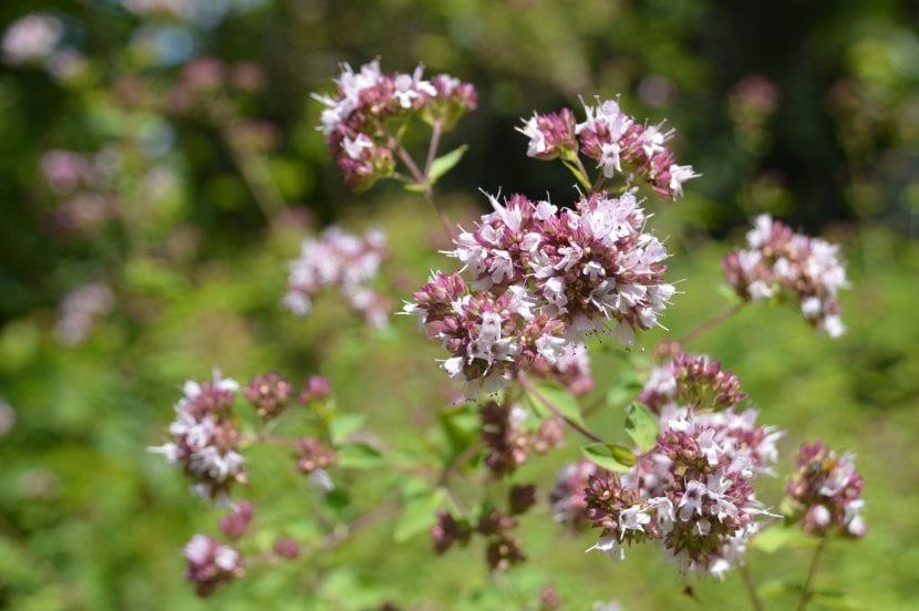 Flores de la mejorana