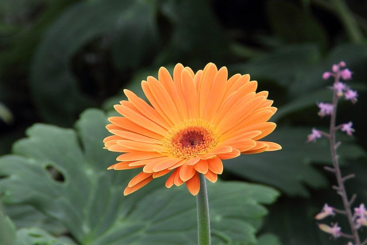 La gerbera es una planta perenne