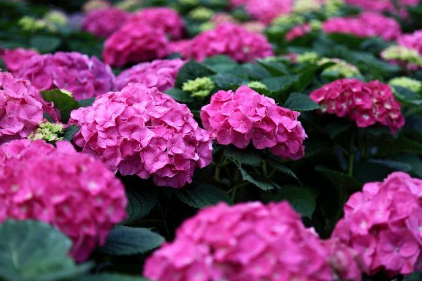 Hydrangea rosa