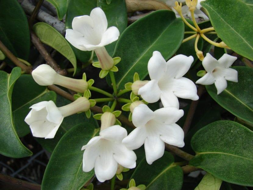 stephanotis floribunda o jazmín de madagascar, una trepadora de