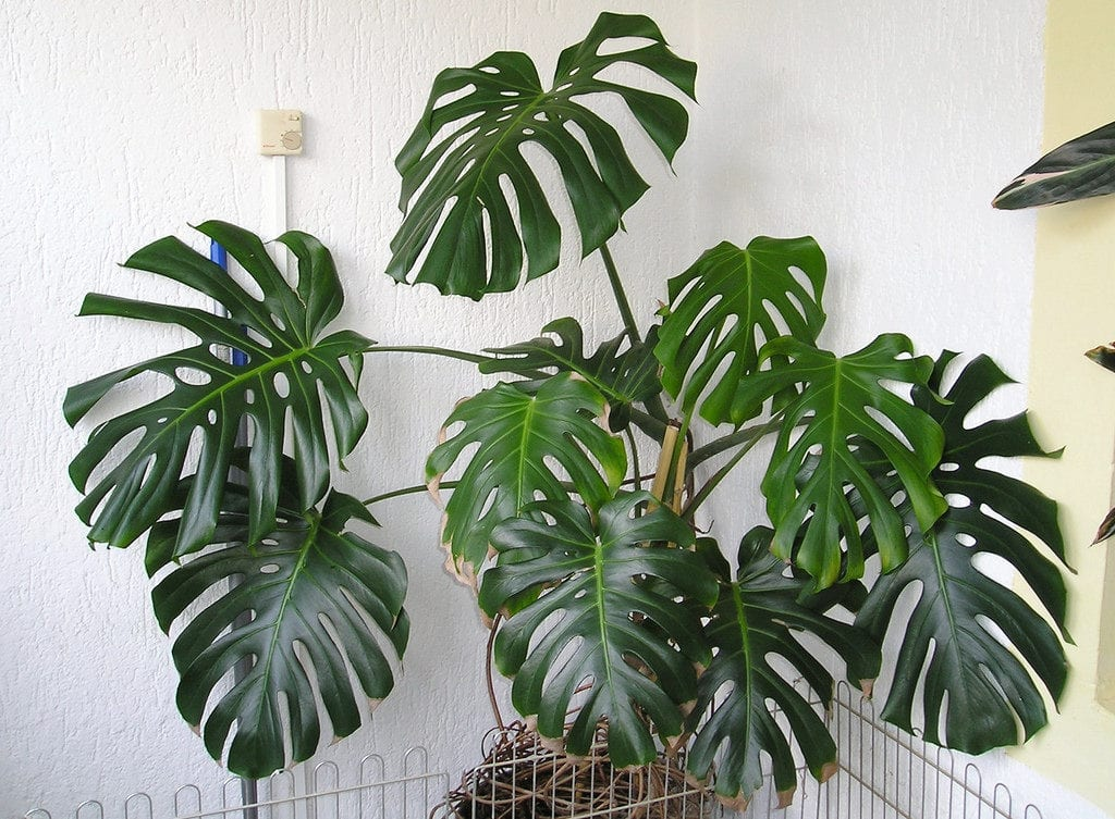 Monstera en interior