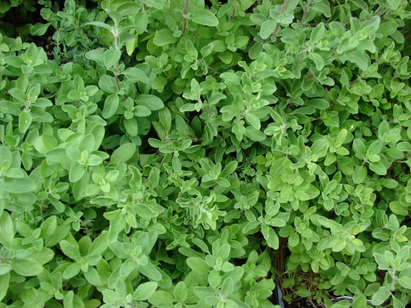 Planta de Origanum majorana