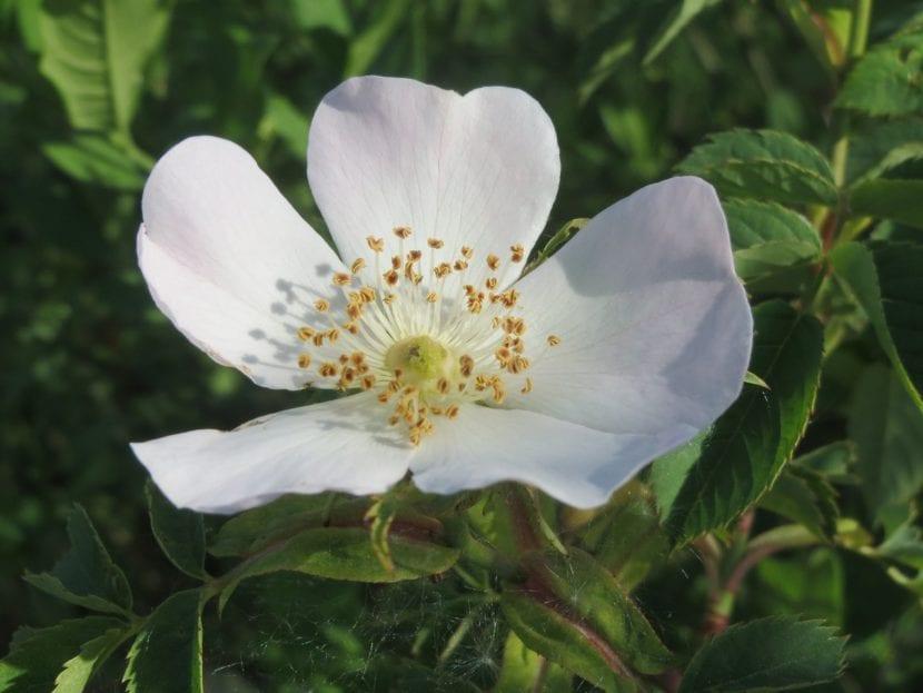 Rosa canina blanca
