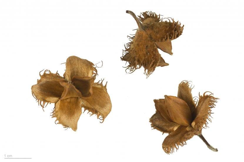 Semillas de Fagus sylvatica