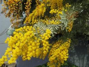 Detalle de las hojas y flores de la Acacia baileyana