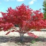 Ejemplar de Acer palmatum