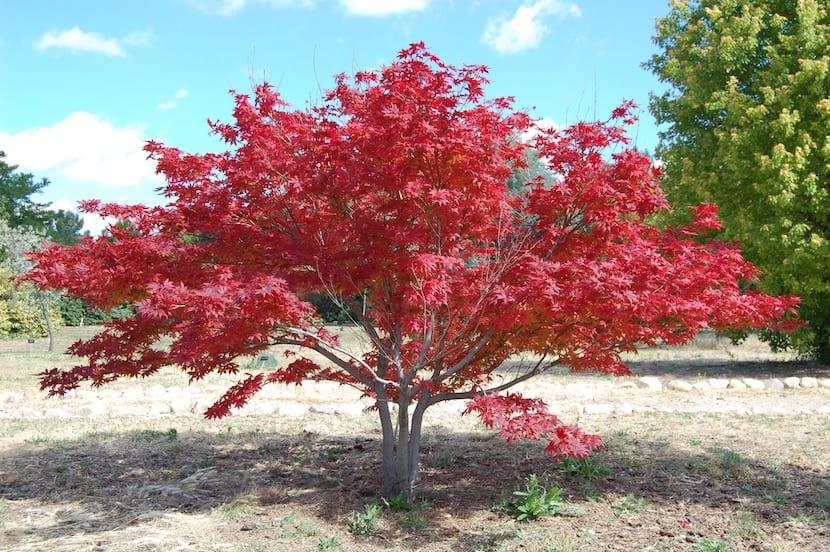 Los mejores para hacer sombra rboles de sombra y con poca for Arboles ornamentales jardin
