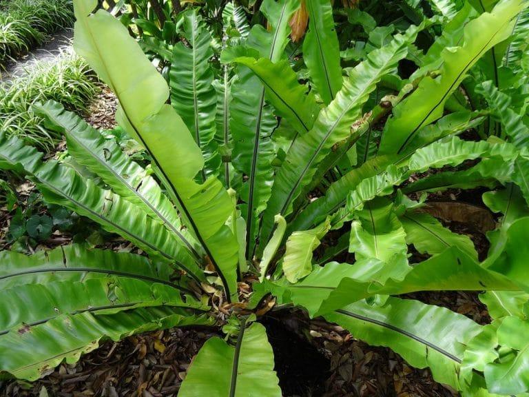 El Asplenium nidus es una planta que crece bien en suelo y en maceta