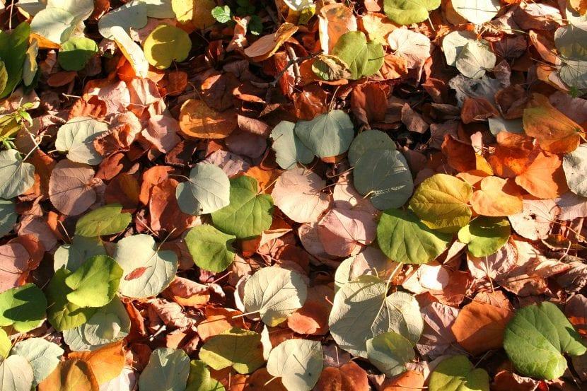Hojas en el suelo del Cercidiphyllum japonicum