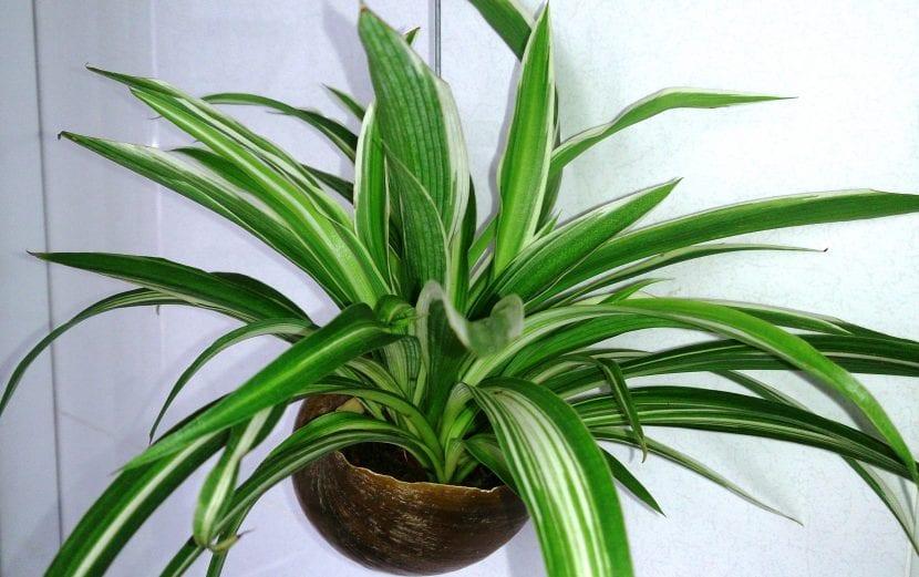 Chlorophytum comosum, la planta de la cinta