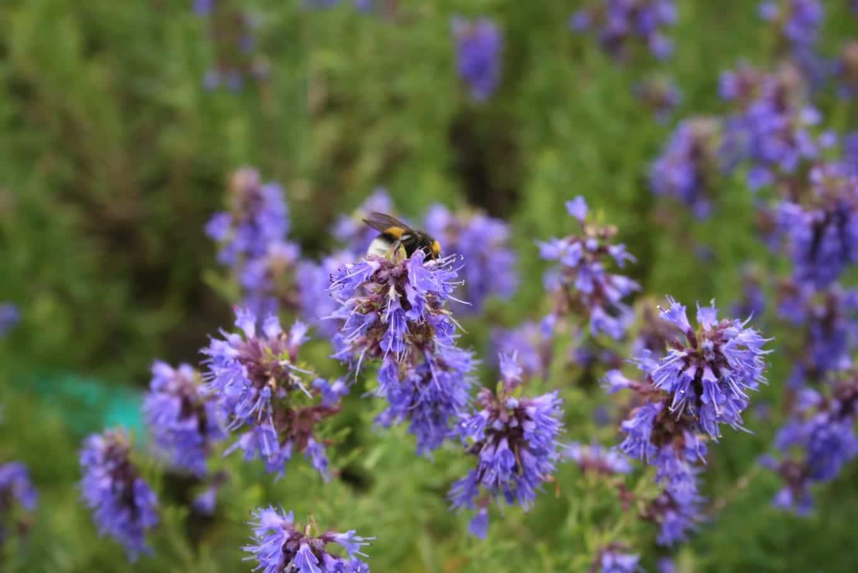 Flores del hisopo