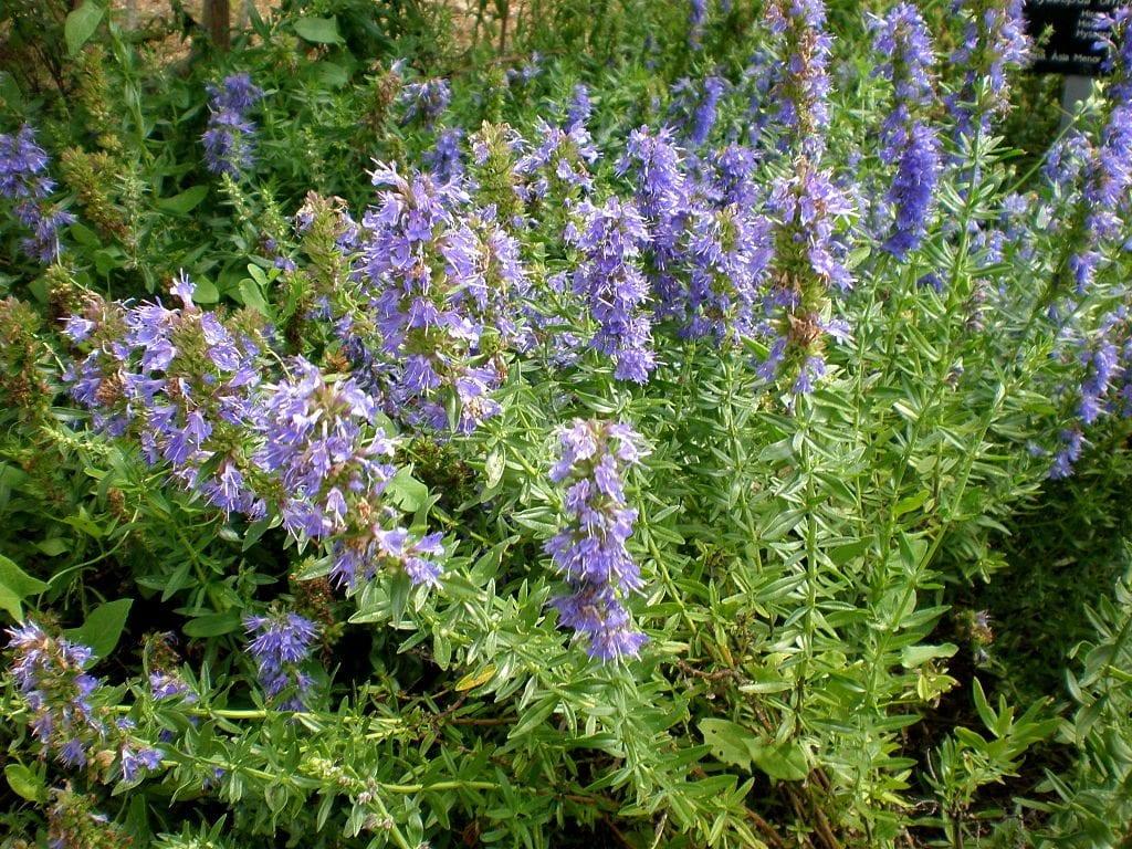 Planta adulta de hisopo