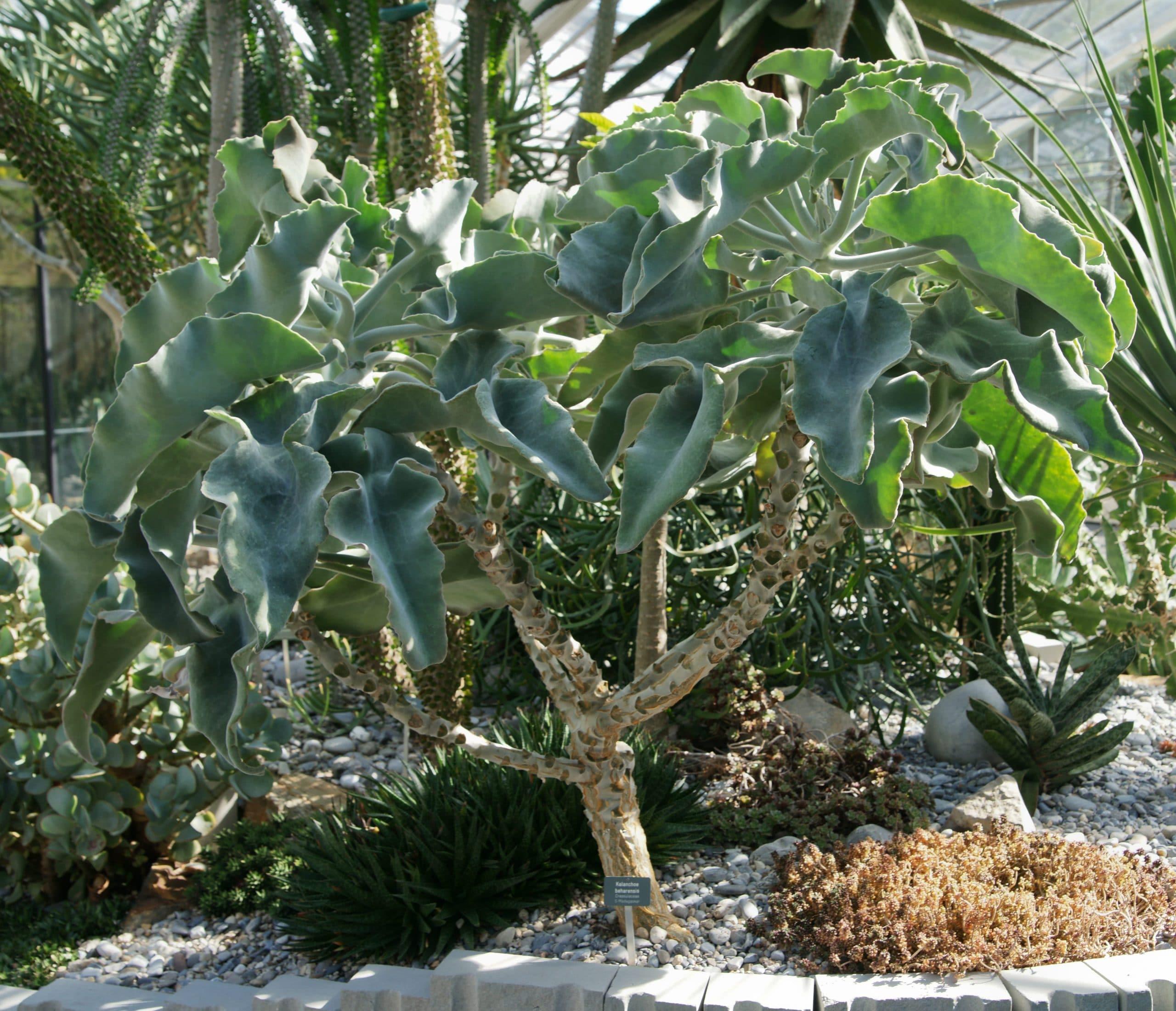 Vista de un arbusto adulto de Kalanchoe beharensis