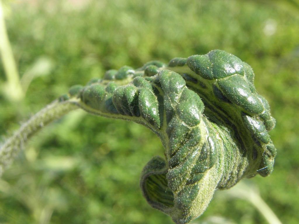 El mildiu puede afectar a la lechuga romana