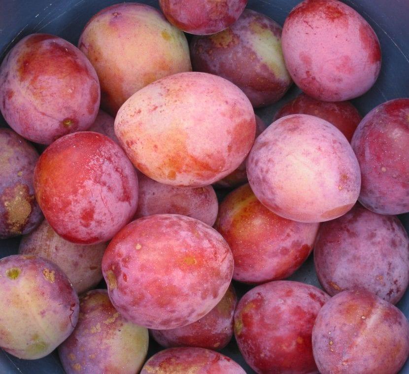 Prunus domestica 'Reina Victoria'