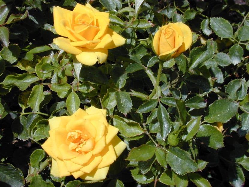 Rosales amarillos