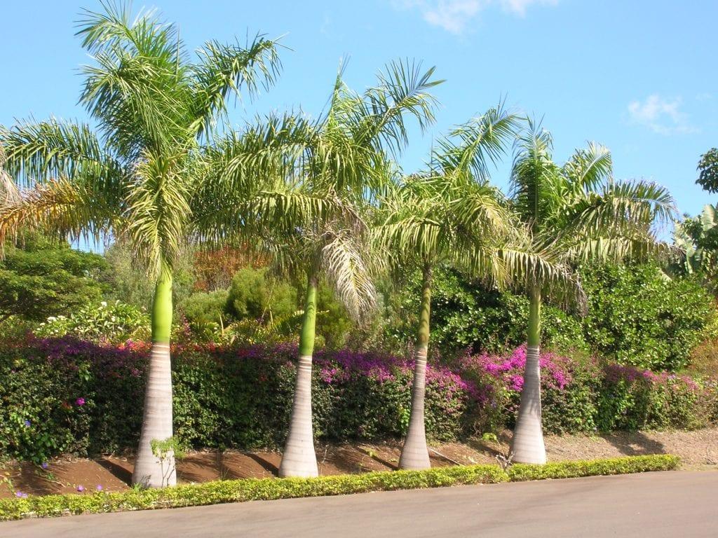 Son peligrosas las ra ces de las palmeras for Plantas de interior tipo palmera