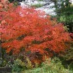 El Acer japonicum es una variedad de arce de Asia