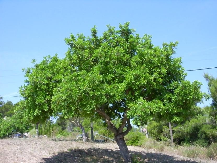 5 nombres de rboles de hoja perenne for Arboles de jardin de hoja perenne