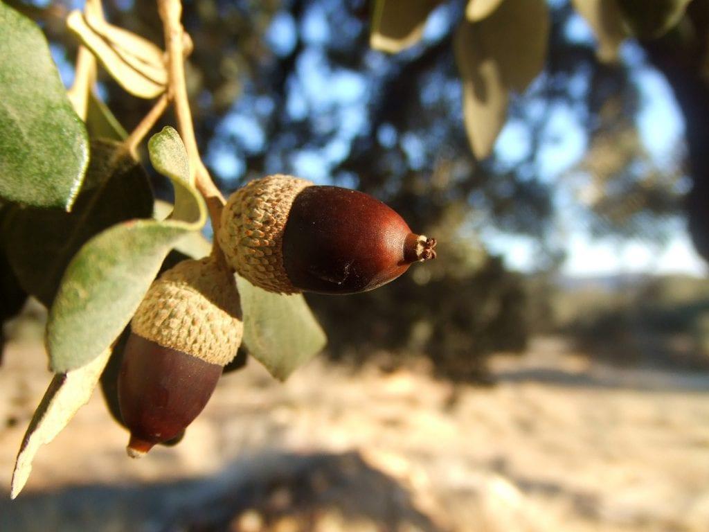 Árbol de bellotas