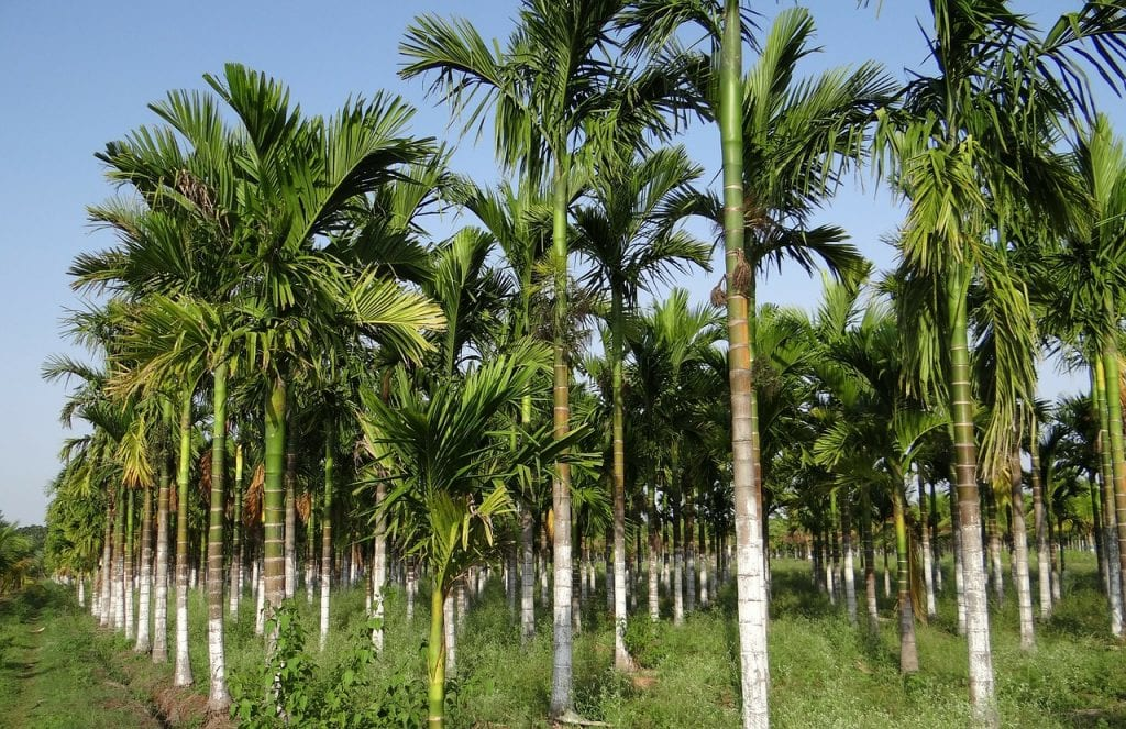 Vista de una plantación de Areca catechu