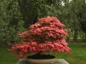 Vista del bonsái de Acer palmatum