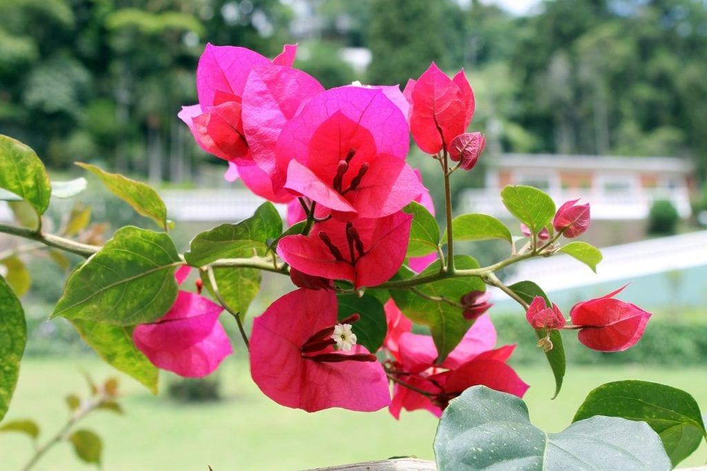 7 Enredaderas Con Flor Para Embellecer Tu Hogar