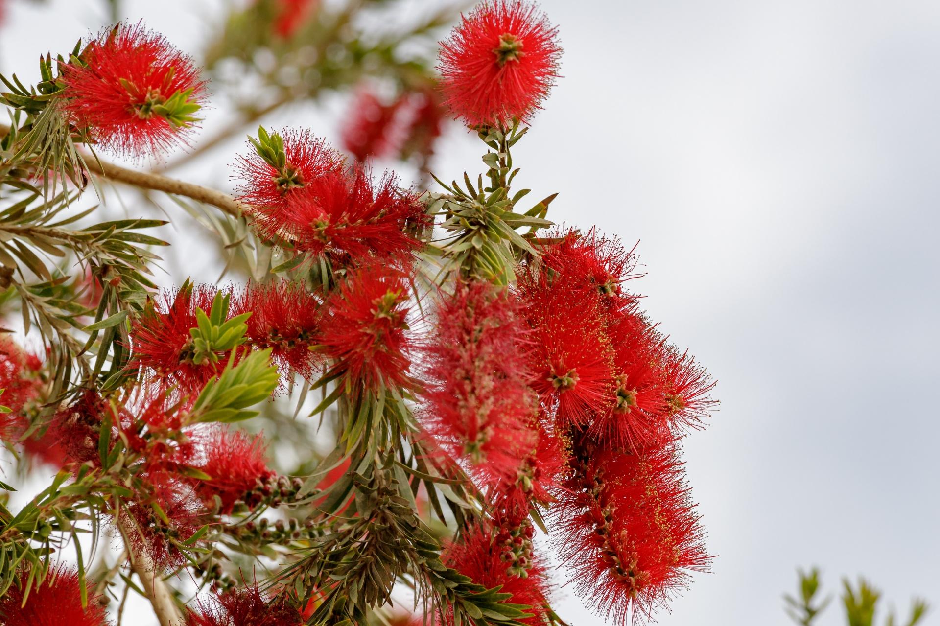 El Callistemon viminalis es un árbol con ramas colgantes